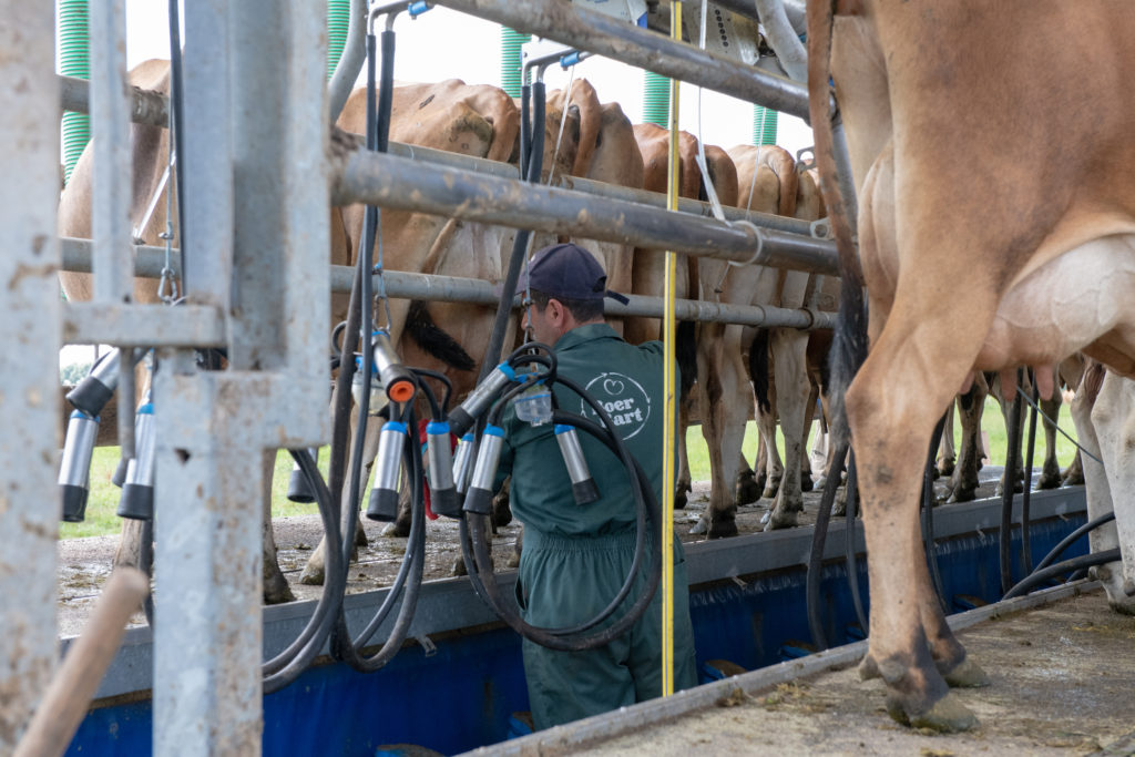 One herdsman can handle the day's milking.